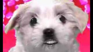 Valentines Day Funny Card Video 3 Maltese Dog