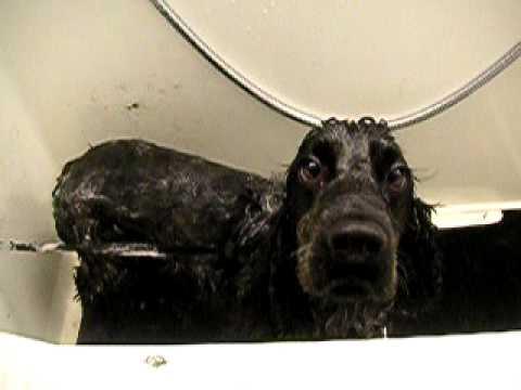 Cocker Spaniel Dog Wash Preston