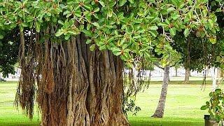 बरगद ही जीवन है-इस पेड़ के फायेदे