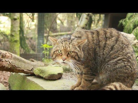 How to identify a Scottish wildcat