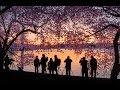 تفتح أزهار الكرز في واشنطن 360