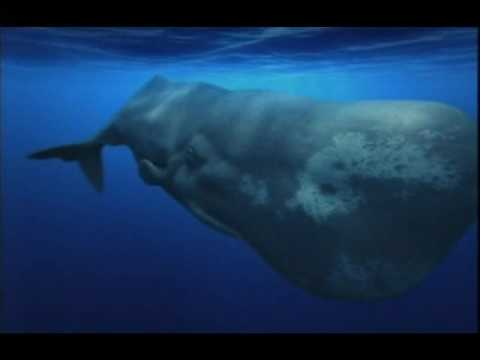 Killer Whales Vs Great White Shark Orca Whale Kills Great White