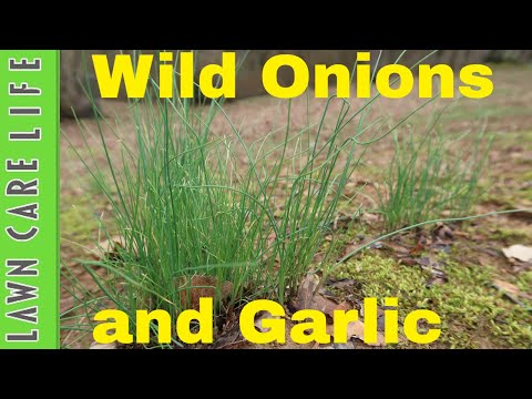 How to Kill Wild Onions and Garlic - Weed Control