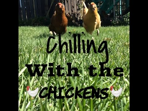 Chilling With The Chickens