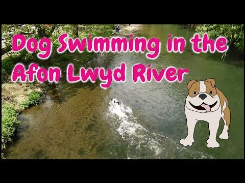 Dog Swimming in the Afon Lwyd River, Cwmbran