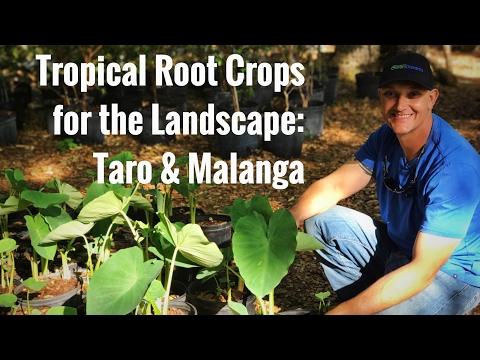 Beautiful ROOT CROPS for the EDIBLE YARD: Taro & Malanga