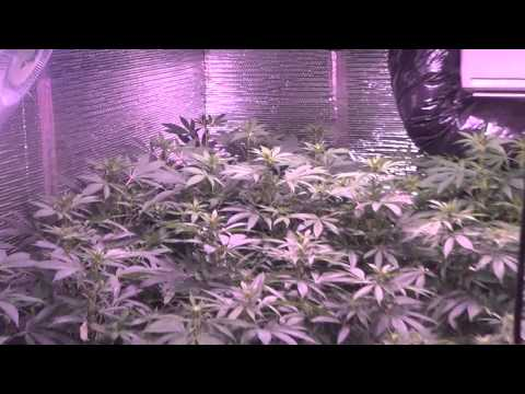 New grow! 4kw medical cannabis garden, day 13 flower - Featuring Plushberry, Sour Bubble, and more!