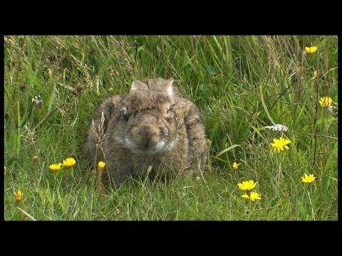 Wild Rabbit with Myxamatosis from Fleas ***