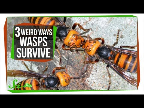 3 Wasps That Will Do Anything to Survive