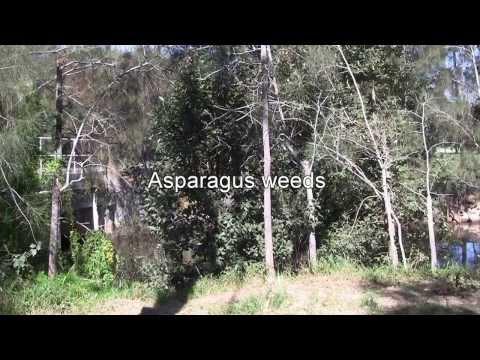 ASPARAGUS WEED CONTROL 2. Asparagus asparagoides (bridal creeper)