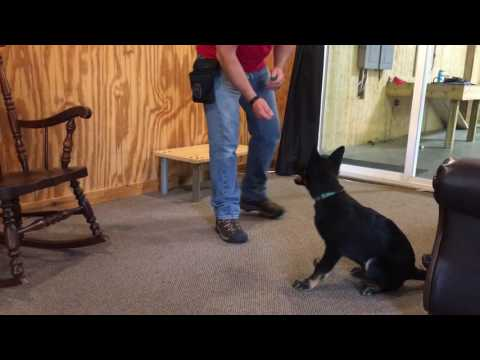 Professionally Trained German Shepherd Puppy