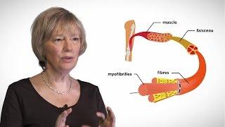 MOOC côté cours : La contraction musculaire