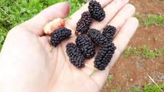 Giới thiệu cây dâu tằm và ăn thử quả