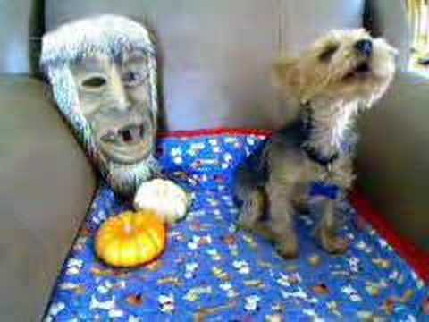 Crazy Yorkie Dog - Yorkshire Terrier on Halloween