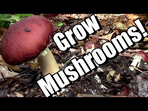 6 Tips to Grow Edible Wine Cap Mushrooms in Your Garden (King Stropharia in Wood Chips)