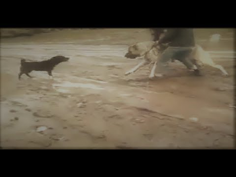 Little dog Attacks A Kangal To Protect Its Territory!!!