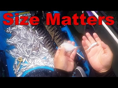 Mangrove Snapper Tips: Bait Size Matters
