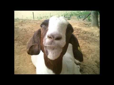 Milwaukee Sky Goat