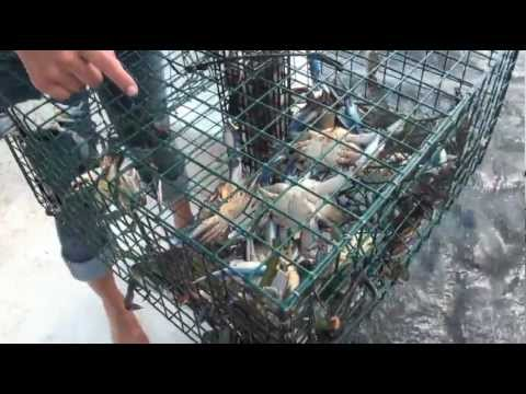 How to catch Blue Crabs in Florida