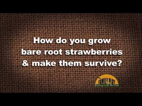 Q&A – How do you make bare root strawberries survive?
