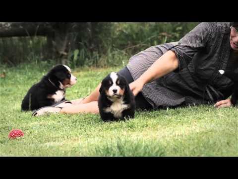 Bernese Mountain Dog puppy playtime