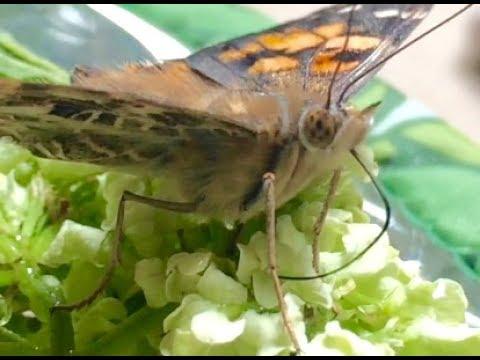Caterpillars and Butterflies - Growing Kit