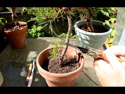 Trunk Chopping a Bonsai Tree, Aug 2016