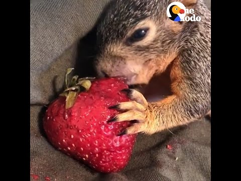 Baby Squirrel Can't Get Enough Of This Strawberry