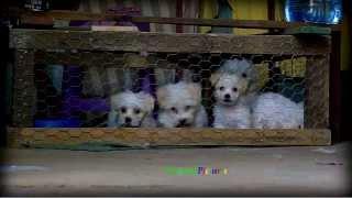 Maltese Puppies 1 _very Playful     (720p)