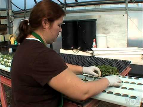 Hydroponics: A Profitable Business || How to earn money growing lettuce?