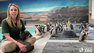 African Penguin Keeper Talk - Annual Moult