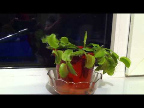 Venus fly trap catching insect HD