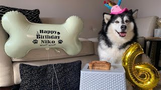 Life With Malamutes Niko – 3 giant alaskan malamutes also known as big teddy bears and a maine coon cat called milo.