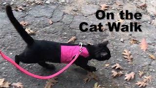 walking my cat not clickbait