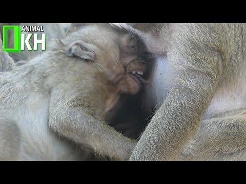 Baby Monkey SP Crying Very Loudly Because Angry With Mum