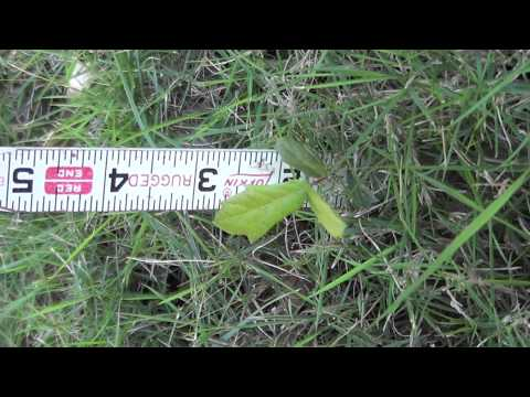 Live Oak Tree seedlings at 1 and 8 months age