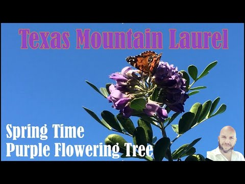 Mountain Laurel - Purple Flower Tree - Spring in Central Texas