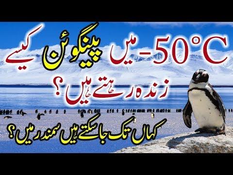 10 Amazing Penguin Facts Urdu Hindi Penguin -50°C Mein Kaise Zinda Rehte Hain