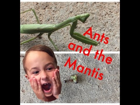 Ants and the Boxing Mantis