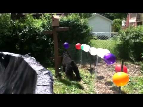 Same video my dog izzie barking at the bloons on the garden