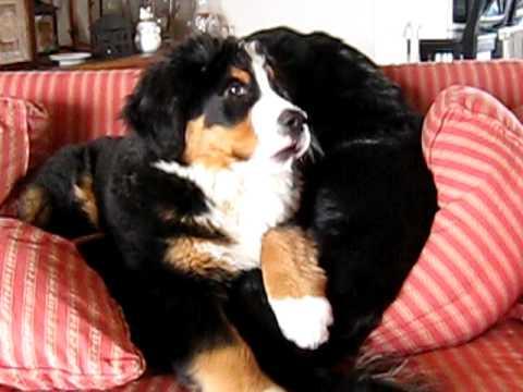 Bernese Mountain Dog Puppy Singing!
