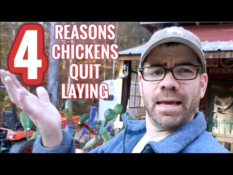 Why your Chickens STOPPED Laying Eggs This Autumn: Causes