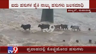 Watch: Cattle Washed Away as Old Bridge Over Surya River Overflows in Palghar