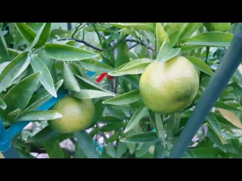 Clemenules Clementine Tree - Spain variety rare in California