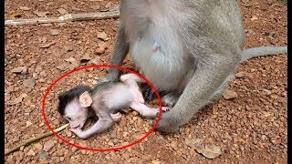 pity baby monkey just was born kidnapping by other monkey, mother money cannot get him back baby cry