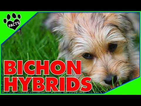 Designer Dogs 101: Top 10 Bichon Frise Hybrid Breeds - Animal Facts