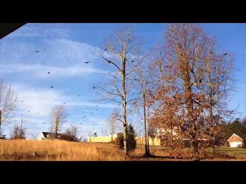 BIRDS! BIRDS! BIRDS! Millions? of black birds flying North 01-14-2018
