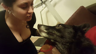 Living with a Wolfdog has its cute moments
