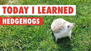 Today I Learned: Hedgehogs