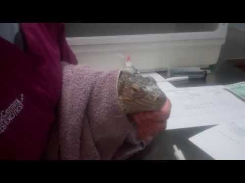 How to medicate your lizard